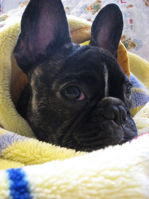 後 犬 手術 の 避妊